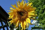 tn_sunflower